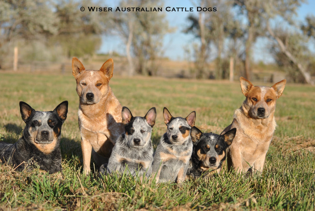 Welcome To Our Website We Aspire Breed Wiser Stock Dogs Australian Cattle Have Been Placed In Homes Across The United States With